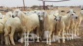 يوجد عدد من الاغنام الطيبه للبيع 200 رأس و70 منها متابيع بالمزاحمية