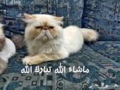 قطه هملايا اورنج بيكي فيس زرار عالي جدا جدا - للتلقيح