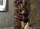 دجاج عمر 3 شهر بلدي للبيع