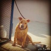 للبيع كلب بيتبول ذكر  العمر 6شهور واسبوع واحد الرجاء التواصل على رقم الجوال لعدم تفرغي للموقع