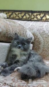 قطة شيرازية 4 شهور ..
