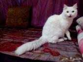 للبيع العاجل قط شيرازي عمره سنة