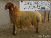 خروف نعيمي بلدي رعي مزرعة علف وبرسيم ممتاز جدا للاضحية