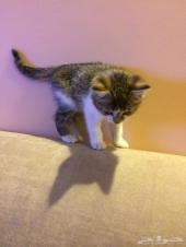 قطه دومستيك شورت هير