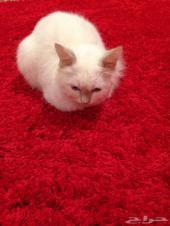 للبيع قطه بيضاء او البدل بكناري يغرد