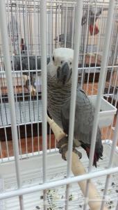 دفعات طيور جديدة (((  كاسكو صيد .. كاسكو هولندي .. أمزوني يلو كراون .. براكيت برازيلي .. كوكاتو قالا