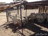 19 خروف صغار فطائم للبيع جمله