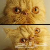 قطة رد تابي بيكي فيس زرآر منتجه وطالبه تزاوج.