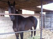 حصان انقليزي للبيع