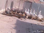 مجموعه من الطيور