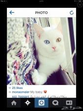 قططط مدللة  للبيع