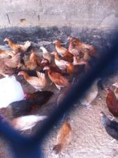 دجاج بشاير نظيف