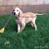 كلب قولدن ريتريفير