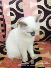 قطه هملايا صغيره للييع  قطوه هملايا للبيع