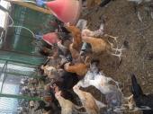 للبيع دجاج العمر 3 شهور ونص الى 4 شهور ونص
