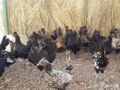 دجاج كويتي وحباحب مستويات حلوة