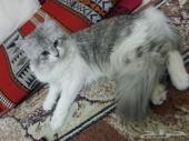 قط هاف شيراز وقط عادى مع مشتملاتهم مطعمين ضد الامراض لاعلى سعر
