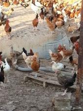 دجاج بلدي بشائر عمر ثلاث شهور 4000
