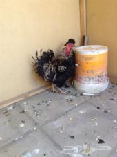 للبيع دجاج مفتل