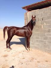 حصان للبيع .. عربي أصيل