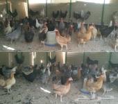 من مزارعه ندى للبيع دجاج بيض