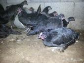 للبيع دجاج بلدي اغلبه اسود صك