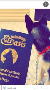 جرو كلب هاسكي بيور مدرب