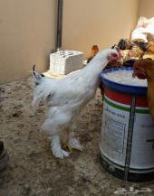 دجاج براهما فاخر للبيع انتاج 2014