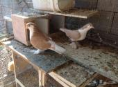 حمام ودجاج هندي   للبيع