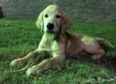 كلب جوادن ريتريفر