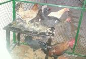 ديكة واربع دجاج بلدي