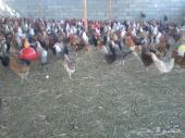 دجاج بلدي بيآض عمر ثمانية شهور بصحة جيدة مع التوصيل