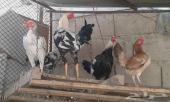 للبيع دجاج باكستاني