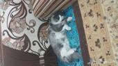 قط شيرازي العمر 10 اشهر