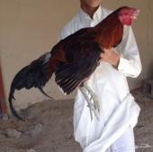 للبيع دجاج وديوك جنوب شرق آسيا