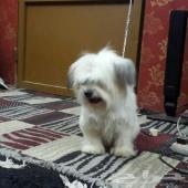 للبيع كلب هافانيز بيور بالرياض