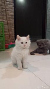 قطط شيرازية جميلة