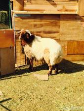 خروف فحل للبيع سلاله طيبه