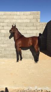 حصان عربي جميل