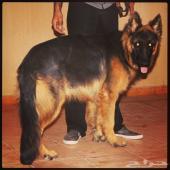 كلب جيرمن شيبرد بيوور مستورد من اوروبا