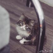 قطه كيتن بعمر شهرين للبيع - التوصيل لجميع مناطق المملكه -