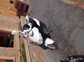 دباب العجيب و ماطور هوندا و دراجة هوائية