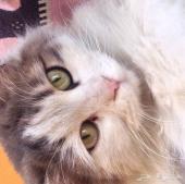قطوه شيرازي امريكي للبيع بالرياض