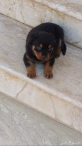 كلب روت وايلر ألماني بيور للبيع rottweiler