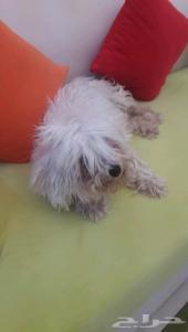 كلب فرنسي دلع للبيع او البدل