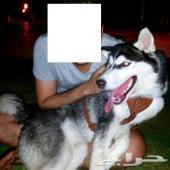 كلب هاسكى للبيع . العمر عشر شهور ... مطعم وجواز سفر وميكروشيب