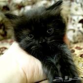 قطة للبيع بجدة