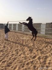 نستطيع توفير جميع الخيول العربية  وباسعار تناسب الجميع حسب الاحتياج