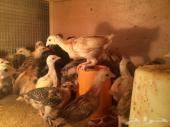 صوص دجاج للبيع