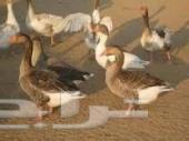 اللي عنده حيوانات او طيور للبيع يدخل